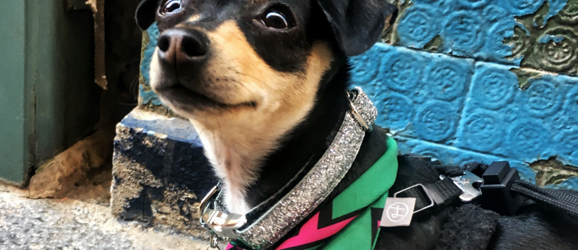 Gigi The Adopted Chihuahua: A Perfect Fit
