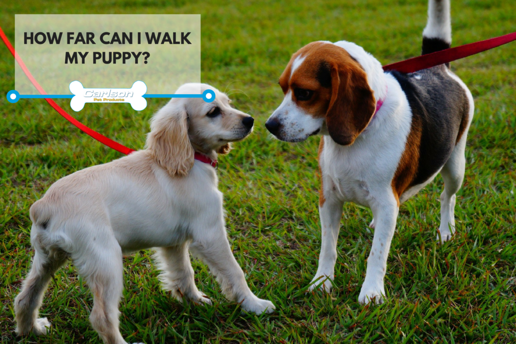How far you should walk your puppy