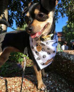 Gigi The Chihuahua's Aoption Story