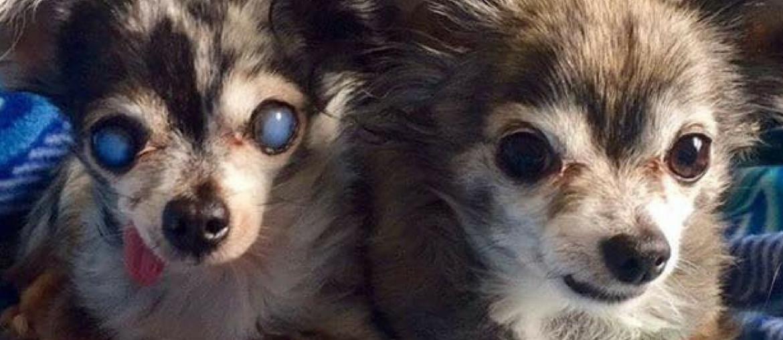 Bernie and Merle: Puppy Mill Survivors