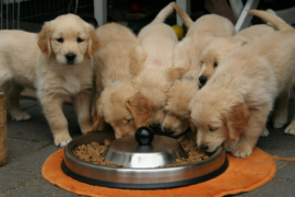 Here are ways a high protein diet can help your dog!