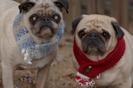 Rescued pugs