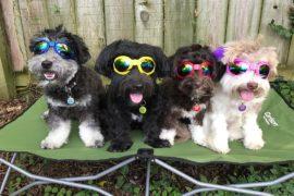 HavaHeart Rescue Dogs