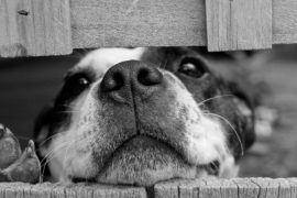 Dog leaning over fence
