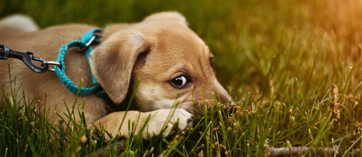 Tips for Training a Puppy Not to Chew