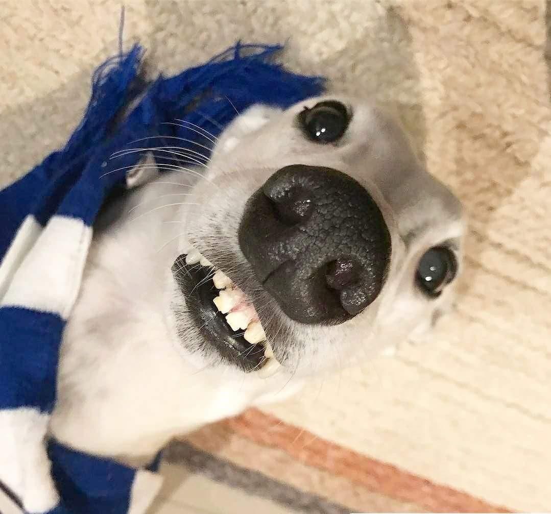 """Resultado de imagen de Greyhound smiling"""""""