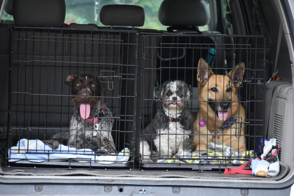 dogs in crates in back of SUV for safety.