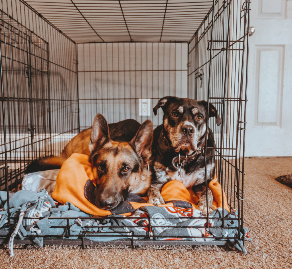 Two large dogs in a large crate laying next to each other on blankets with crate door open.
