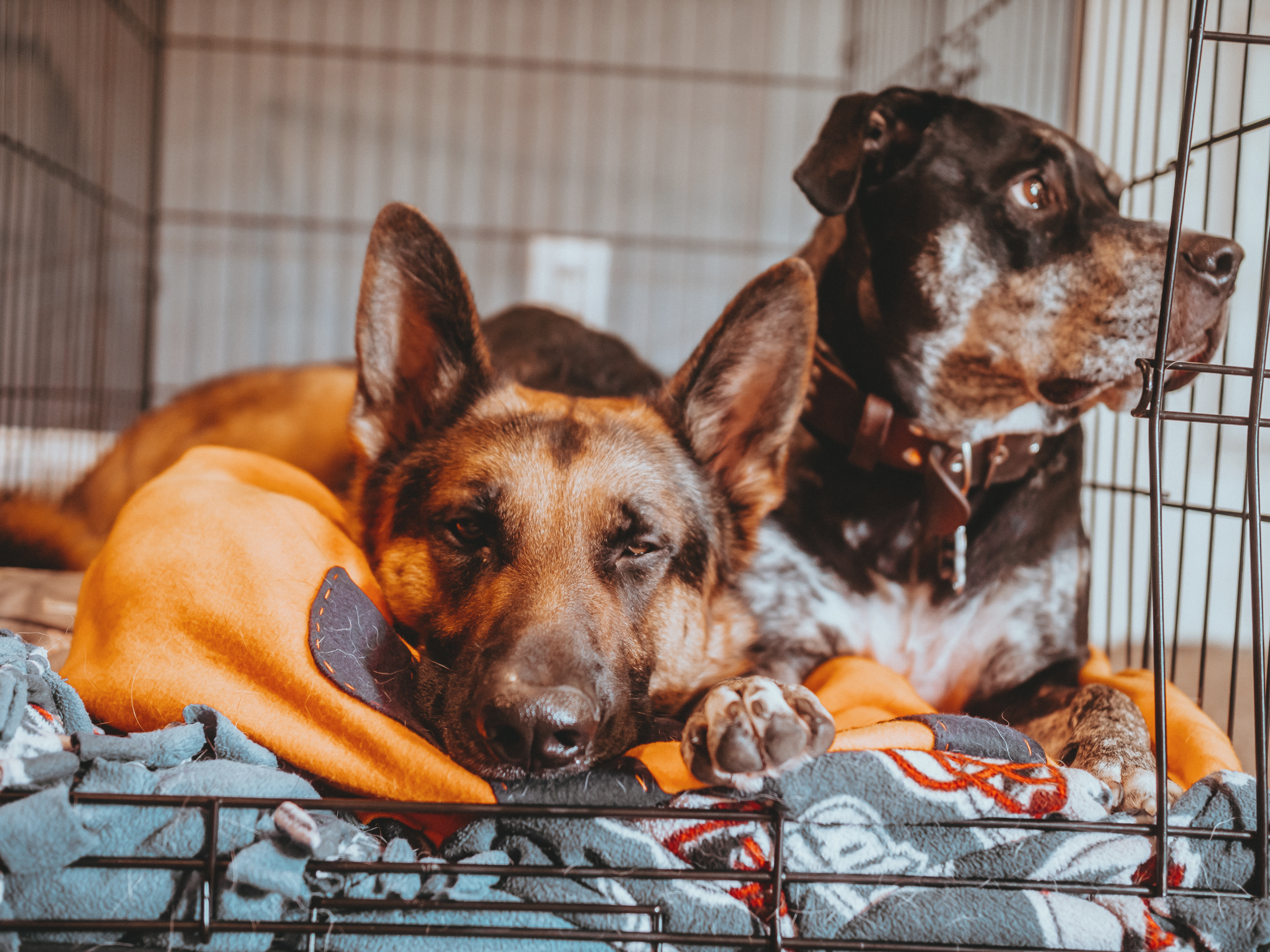 two dogs in a dog crate with blankets