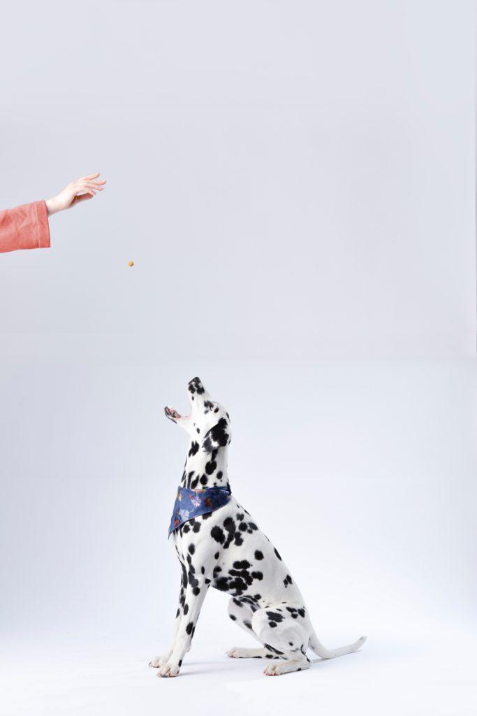 Dalmatian dog sitting while receiving a training treat.