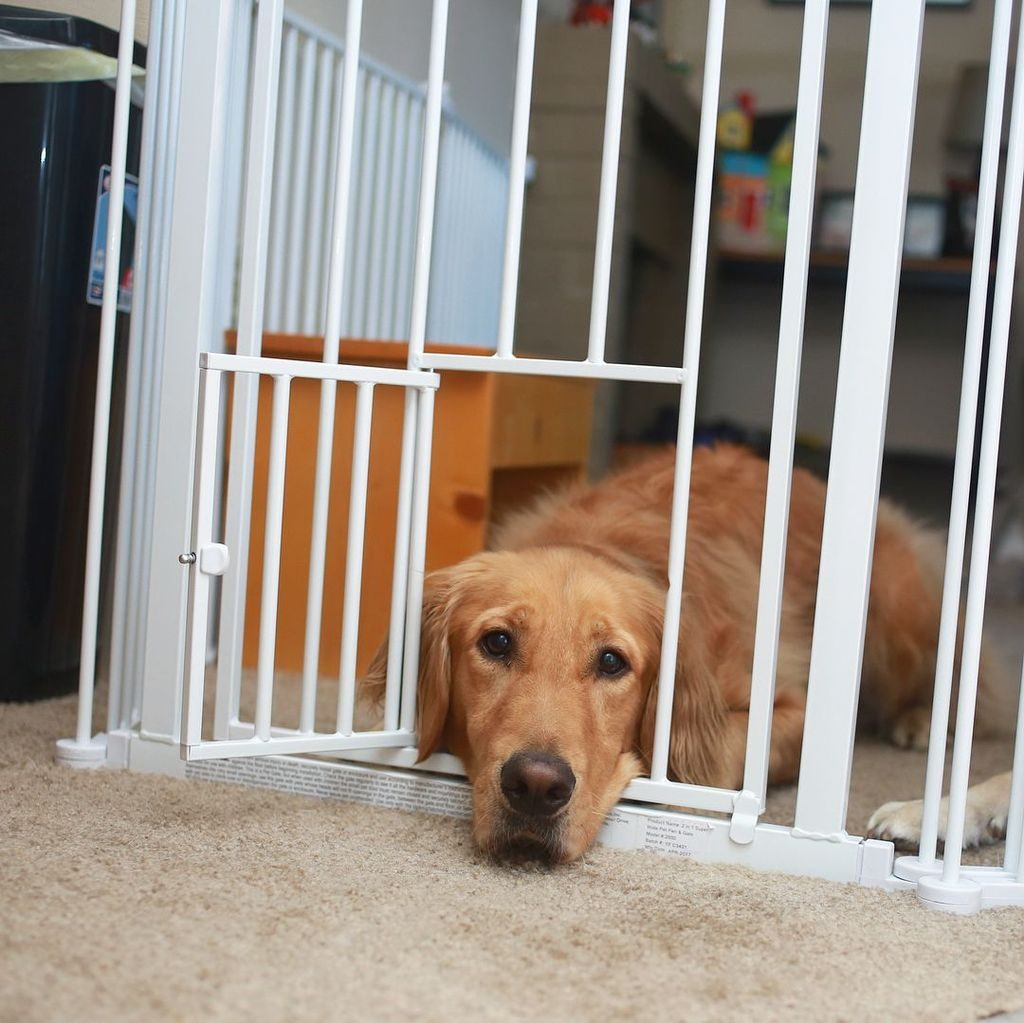 dog laying down with head and chin laying through small doggie door in dog gate