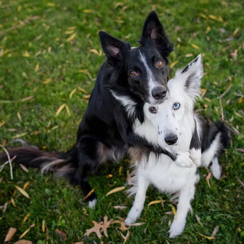 A black and white boarder collie hugging each other in the grass