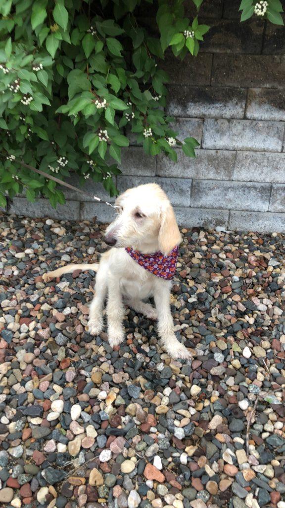 Puppy on a leash sitting outside on rocks near a bush.