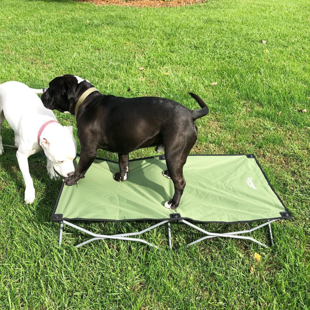Two dogs sniffing each other on the grass. One is standing on a pet cot