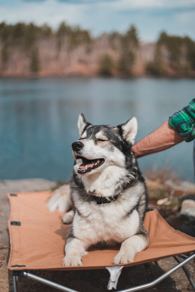 Husky on a tan pet cot with eyes closed panting while human pets him with lake in background.