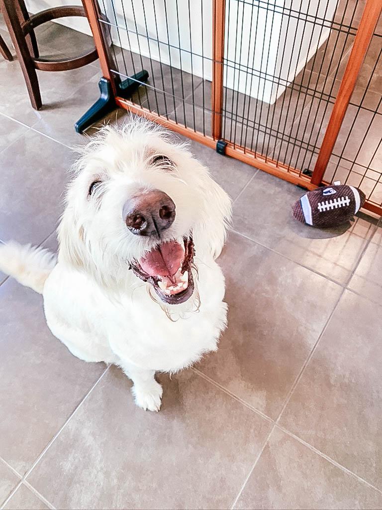 Dog sitting on floor with dog gate behind him.