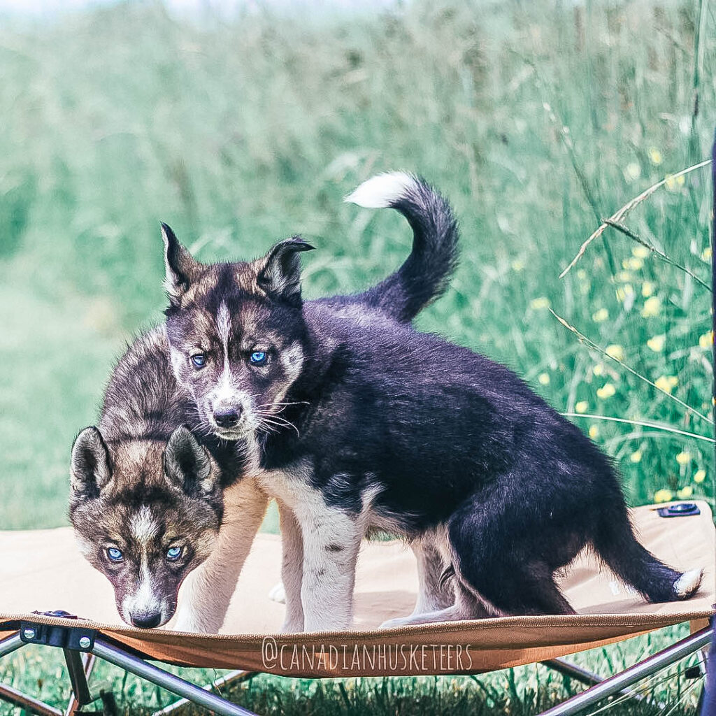 Two husky puppies standing on a tan pet cot looking at the camera.