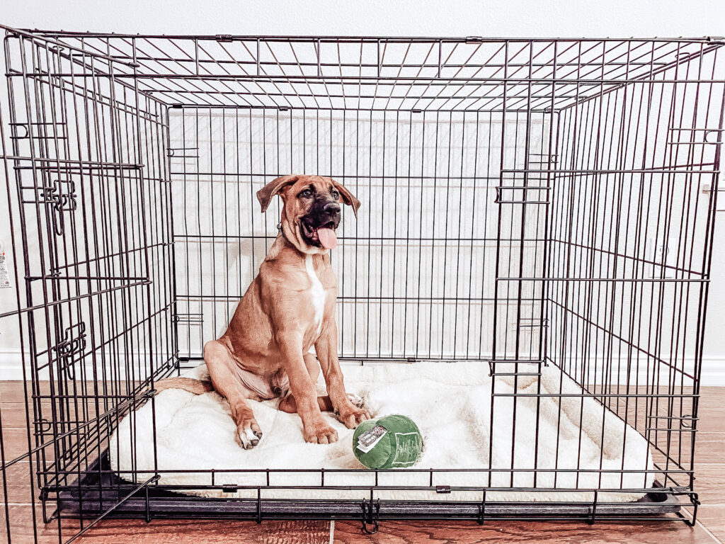 A puppy sitting in a crate with a toy waiting to meet guests.