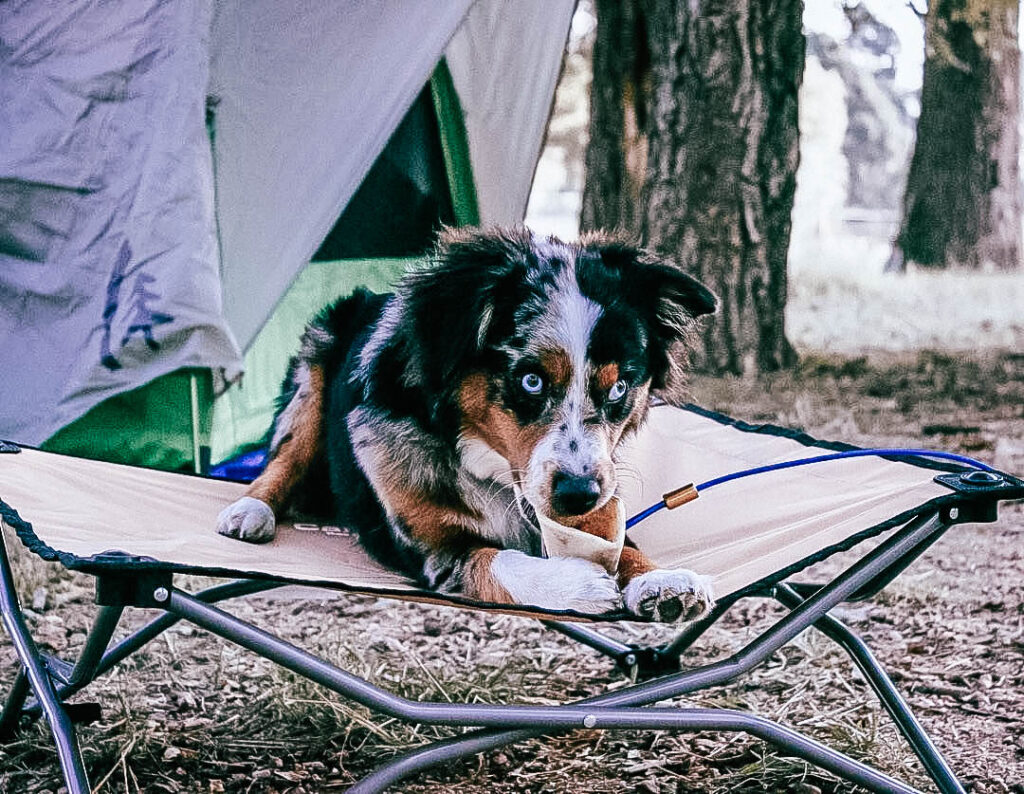 A dog laying on an eco friendly dog cot from Carlson Pet in front of a tent while licking a bone.