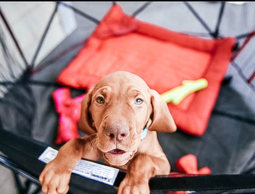 Puppy jumping up in a pet pen looking up at the camera.