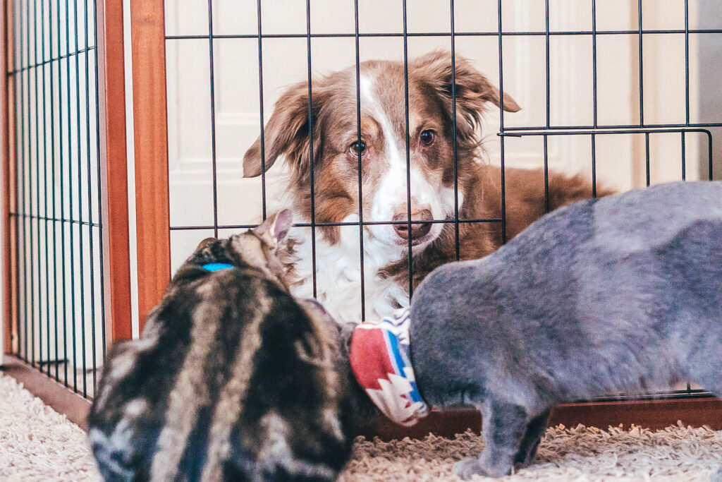 Dog behind a gate and cats on the other side meeting each other in adoption room.