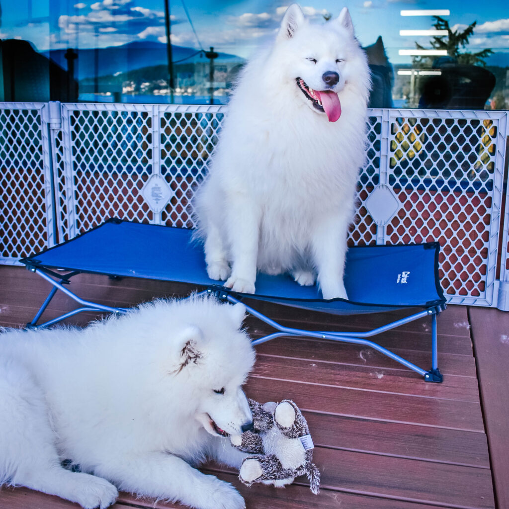 A white fluffy dog sitting on a dog cot with a new puppy sibling laying next to them on the deck playing with a dog toy.