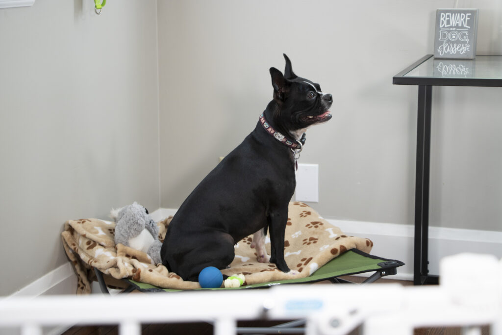 Puppy sitting behind a dog gate on a dog bed with toys waiting to work on training and puppy behavior.