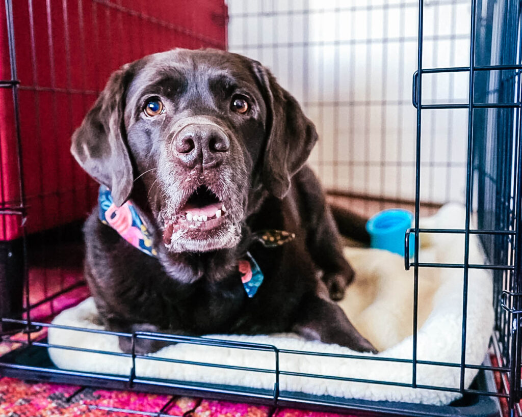 Dog in dog crate looking at camera