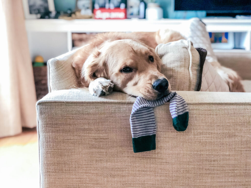 dog laying on couch with sock under chin