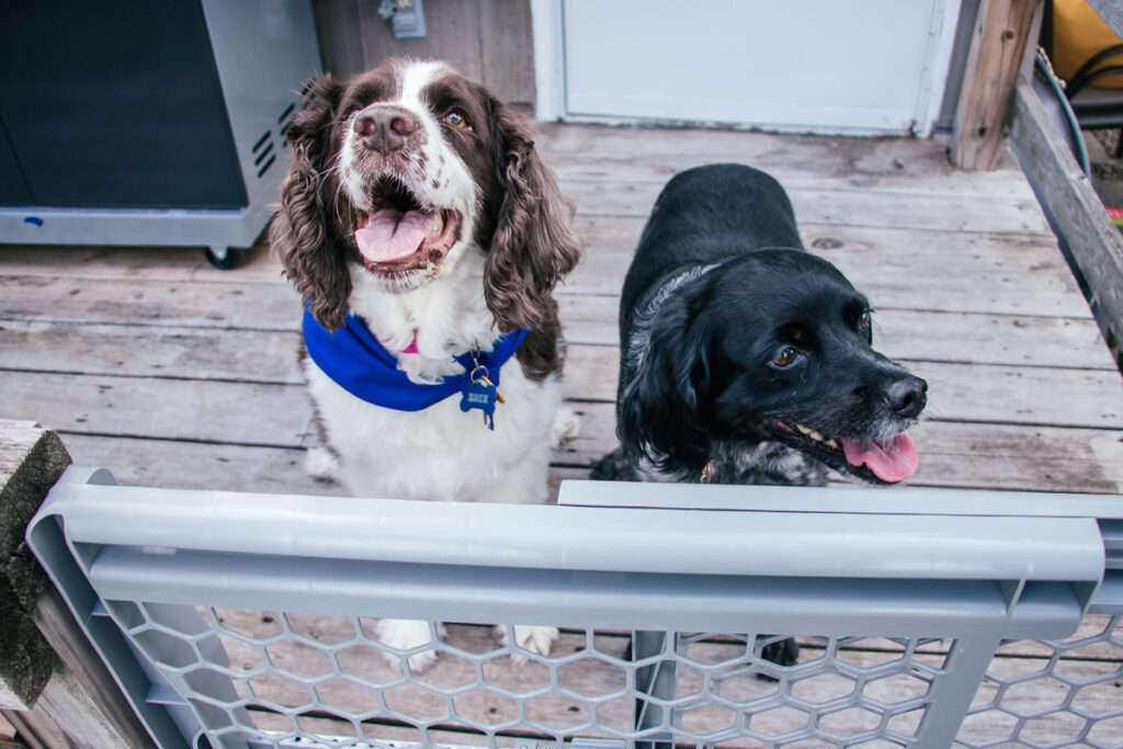 two dogs looking over a pet gate at pet trainer during training exercise