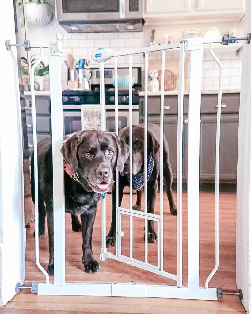 dog coming through a dog gate and looking at the guest