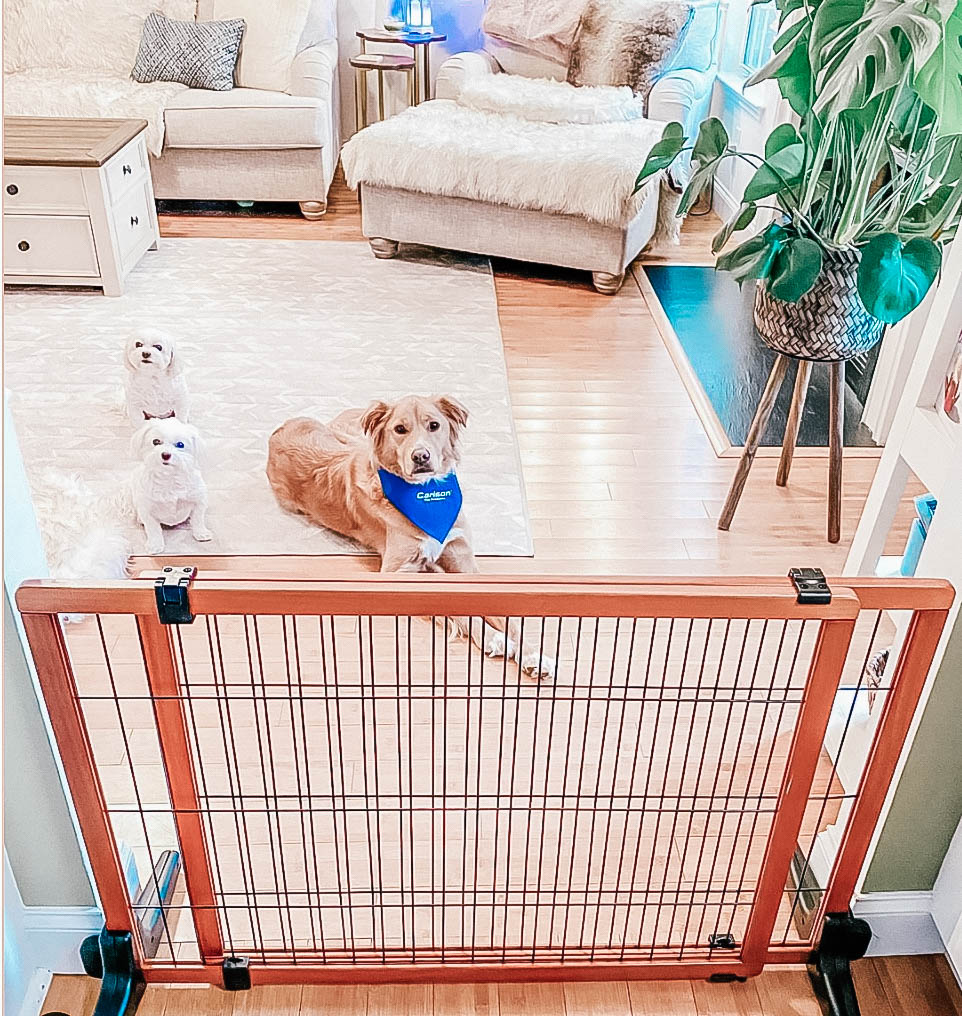 Three dogs behind a pet gate when a new guest is entering the house.