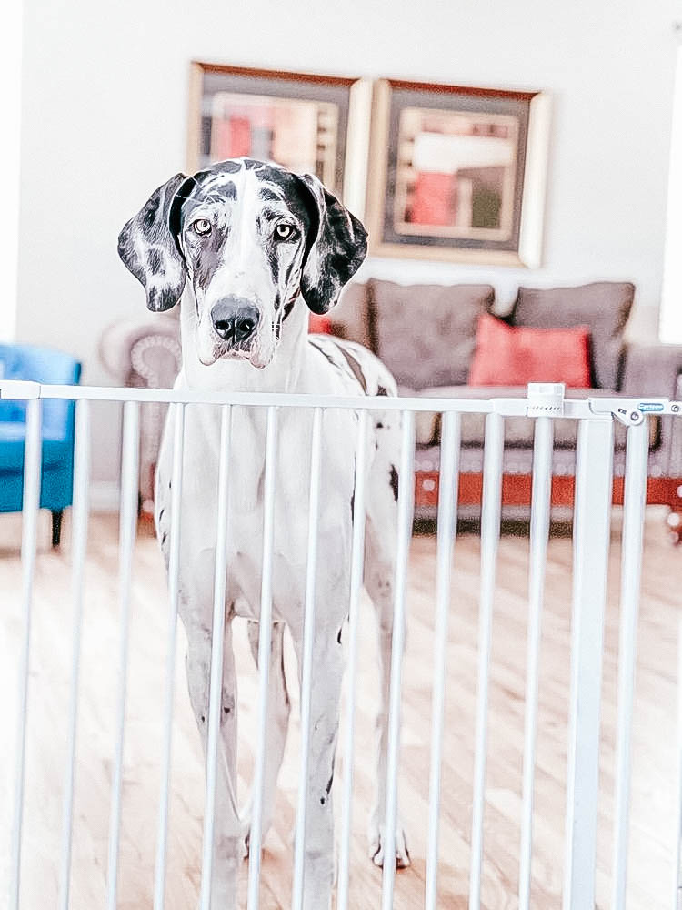 Great Dane dog standing behind a tall dog gate